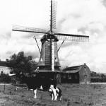 1969: de molen in zijn agrarische omgeving